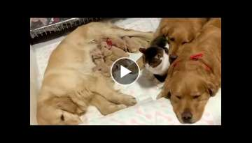 Cute Golden Retrievers and Cat Comforts Newborn Puppies