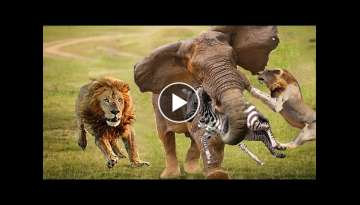 Big Battle Crocodile vs Leopard, Elephant - Brave Elephant Helps Zebra Calf Escape From The Lions