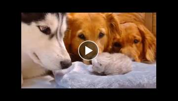 Golden Retrievers and Husky Meeting Their Best Friends Newborn Kitten