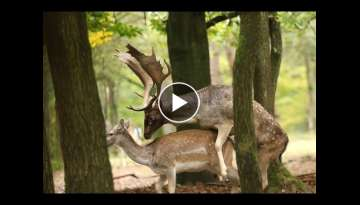 Fallow deer mated in the autumn