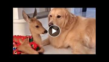 Baby Deer and Golden Retriever Are Adorable Friends