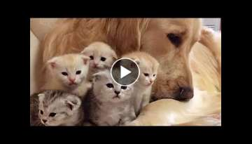 Golden Retriever Patiently Watching Newborn Kittens